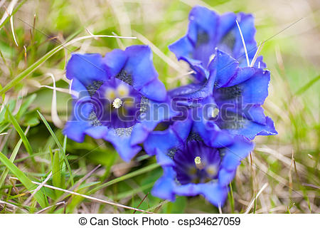 Stock Images of Stemless gentian (Gentiana acaulis) on mountain.