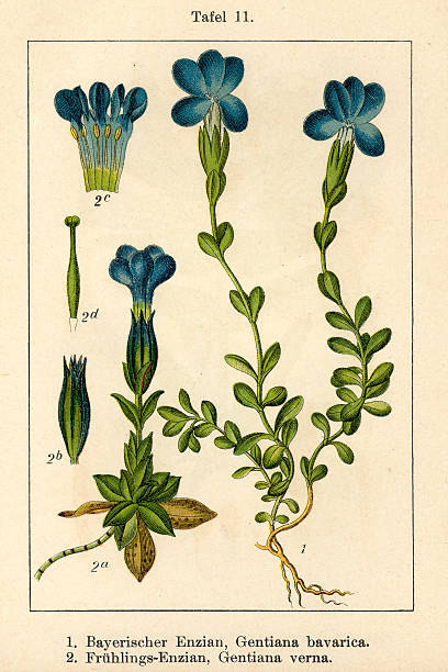 Gentiana Verna Clip Art, Vector Images & Illustrations.