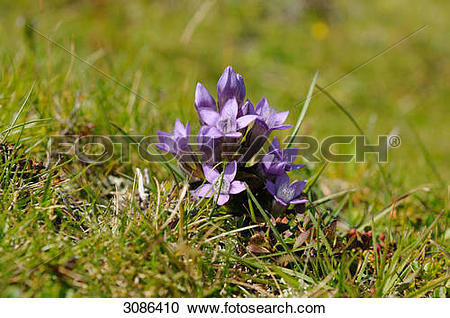 Stock Photography of Gentiana (Gentiana) growing on a meadow.