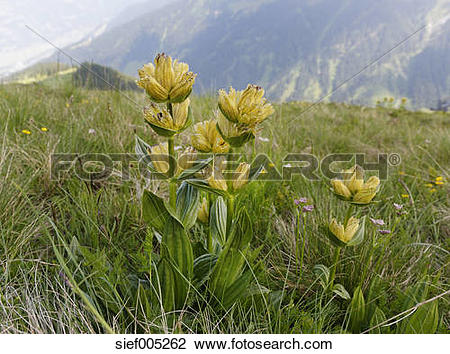 Stock Photo of Austria, Vorarlberg, Close up of spotted gentian.