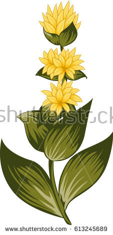 Gentiana Stock Images, Royalty.