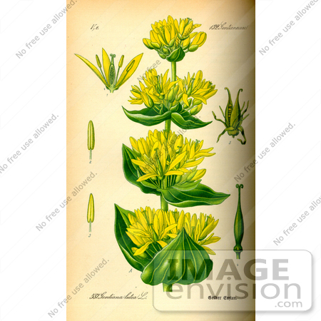 Picture of Great Yellow Gentian, Yellow Gentian, Bitter Root.