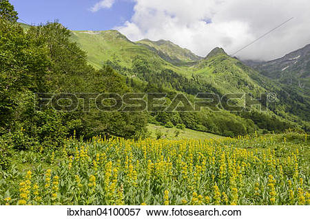 Picture of Great Yellow Gentian (Gentiana lutea), Val dera Artiga.