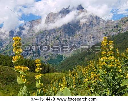 Pictures of gentiana lutea, leukerbad, valais, swiss b74.
