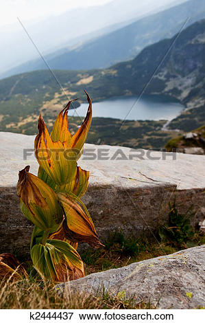 Picture of Dry leaves of Yellow Gentian (Gentiana lutea) k2444437.