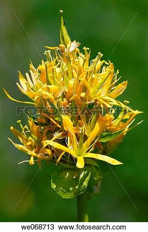 Stock Photo of Yellow Gentian (Gentiana lutea). Eyna valley, Pyr?n.