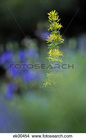 Stock Photo of yellow gentian, Gentiana lutea ek00454.