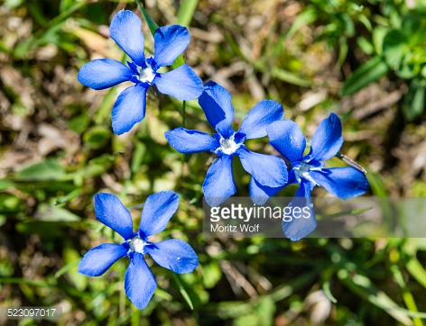 Gentiana Verna Stock Photos and Pictures.