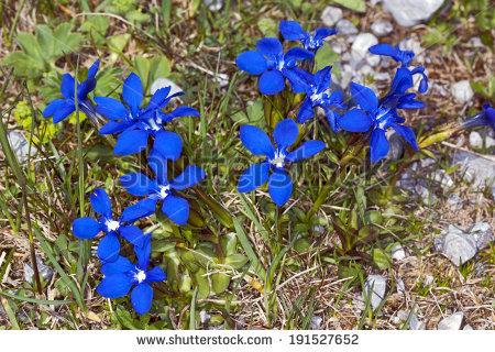 Spring Gentian, Gentiana Verna Stock Photo 191527652 : Shutterstock.