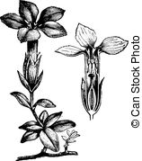 Gentianaceae Vector Clipart Illustrations. 3 Gentianaceae clip art.