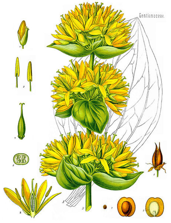 Common Name: Great Yellow Gentian.