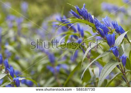 Gentian Stock Photos, Royalty.