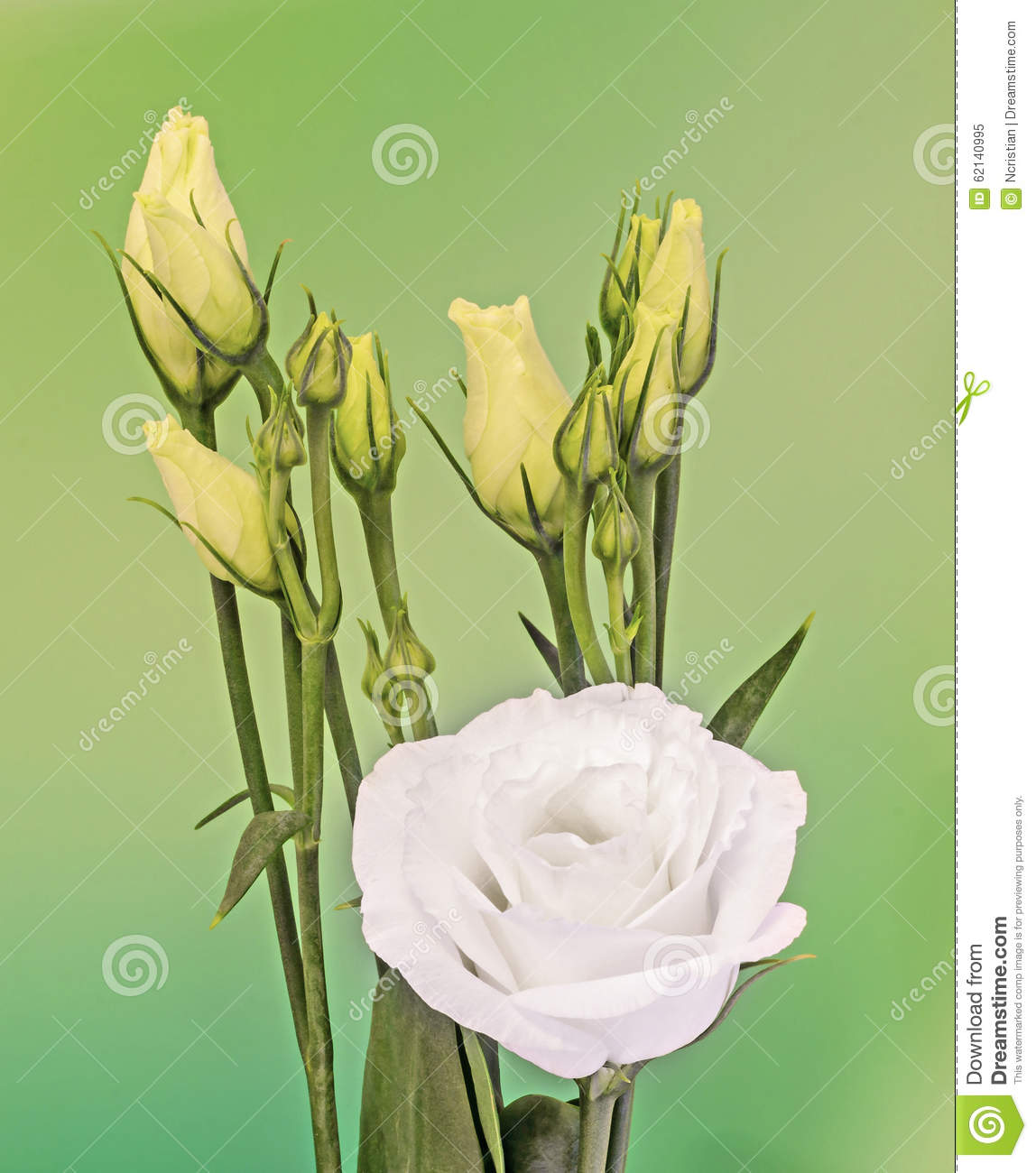 White Eustoma, Lisianthus Flowers, Yellow Buds, Family.