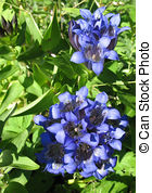 Gentiana Stock Photo Images. 222 Gentiana royalty free pictures.