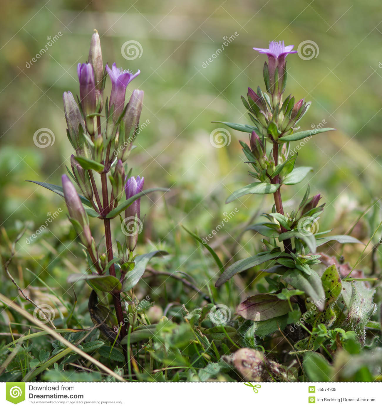 Autumn Gentian (Gentianella Amarella) In Flower Stock Photo.