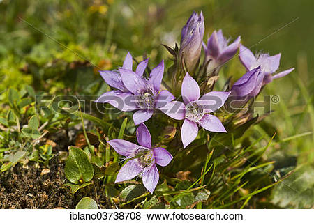 "Pictures of ""Chiltern Gentian (Gentiana germanica), Seewertal."