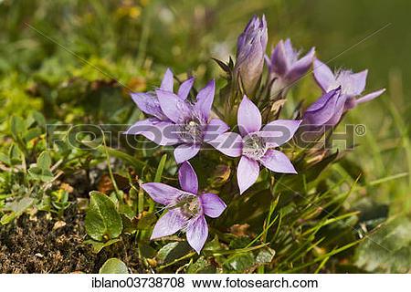Gentianella germanica clipart #20