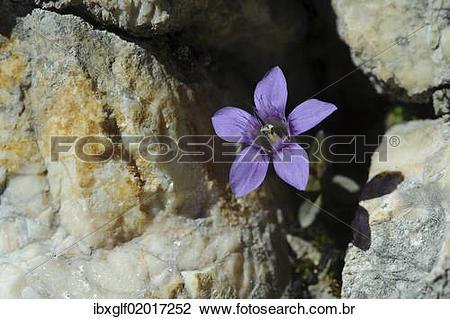 Gentianella germanica clipart #8
