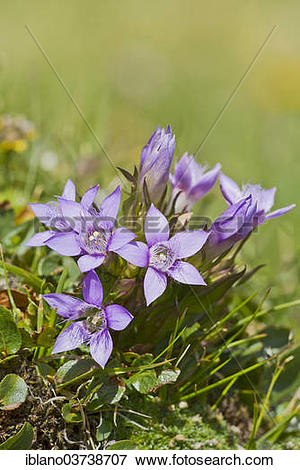 "Picture of ""Chiltern Gentian (Gentiana germanica), Seewertal."