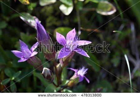 Gentianella germanica clipart #2