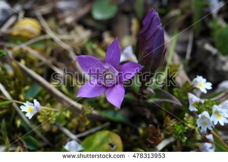 Alpine Gentian Stock Photos, Royalty.