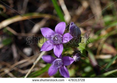 Gentianella germanica clipart #12