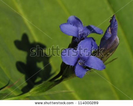 "gentianopsis Ciliata"" Stock Photos, Royalty."