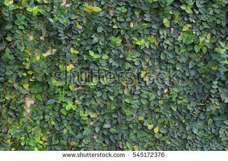 Creeper Wall Stock Photos, Royalty.