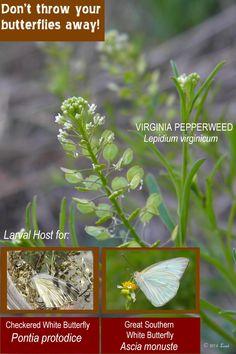 Ambrosia trifida (Giant ragweed) ++ Pol: 8.