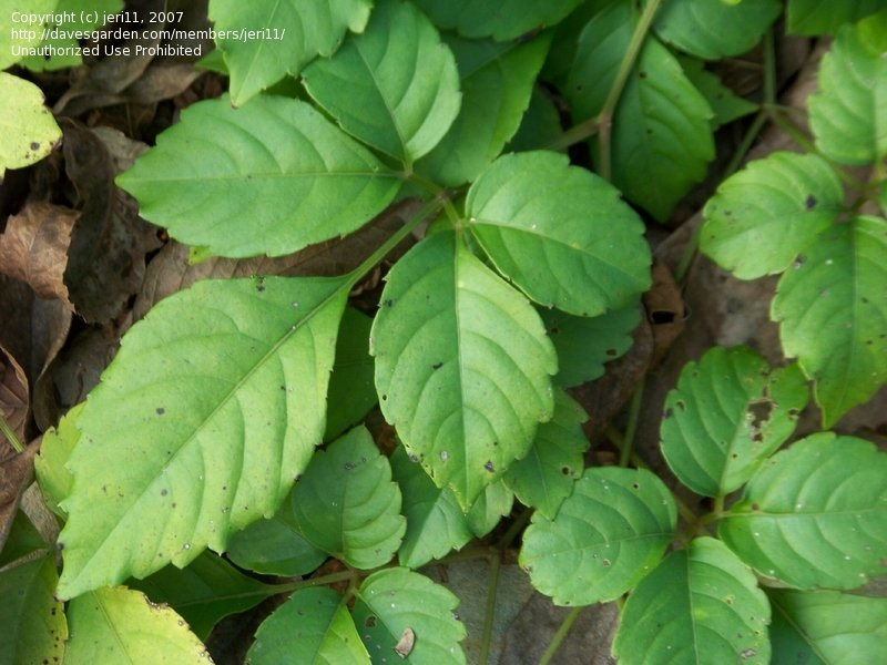 PlantFiles Pictures: Bushkiller (Cayratia japonica) by jeri11.