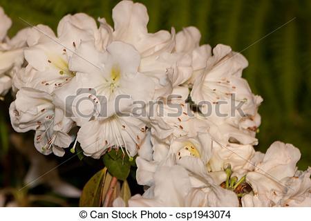 Stock Photo of Rhododendron Fragrantissimum.