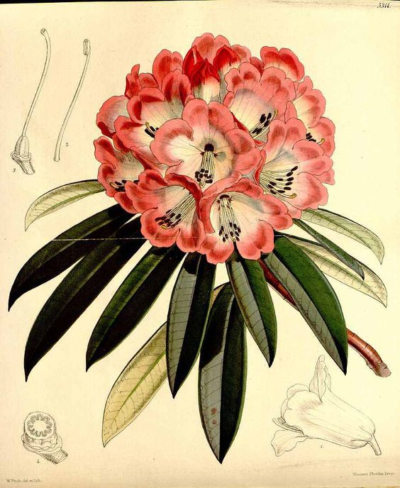 """Rhododendron (from Ancient Greek rhódon """"rose"""" and déndron """"tree."""