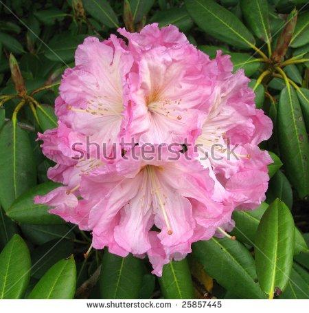 Rhododendron Hybrid Stock Photos, Royalty.