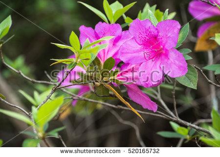 Genus rhododendron clipart #16