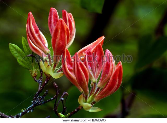 Rhododendron Pentanthera Stock Photos & Rhododendron Pentanthera.