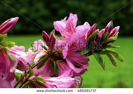 Rhododendron Shrub Stock Photos, Royalty.