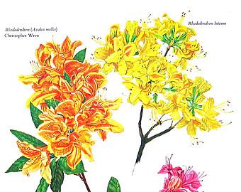 Flower Print Genus Rhododendron Botanical by mysunshinevintage.