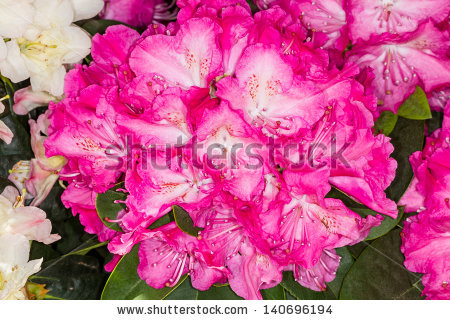 Belgian Azaleas Amazing White Flower Pink Stock Photo 395599186.