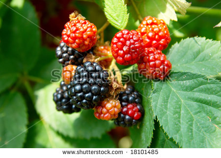 Wild Blackberries Stock Photos, Royalty.
