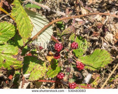"""rubus Rosaceae"" Stock Photos, Royalty."