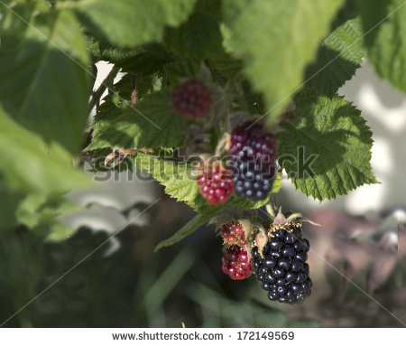 Rubus Genus Stock Photos, Royalty.