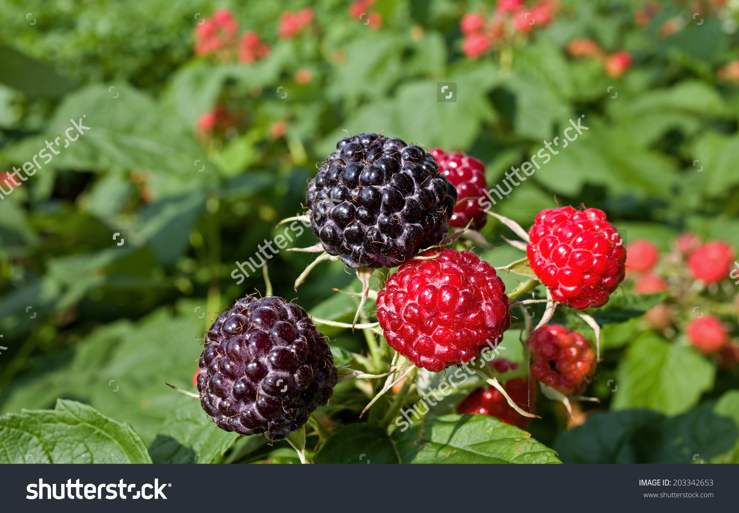 Raspberry Is The Edible Fruit Of A Multitude Of Plant Species In.