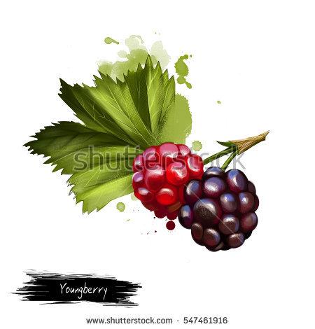 Rubus Stock Photos, Royalty.