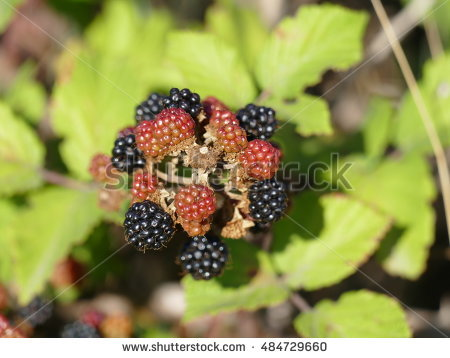Blackberry Wine Stock Photos, Royalty.