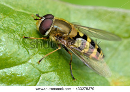 Syrphus Stock Photos, Royalty.