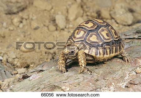 Stock Images of Leopard tortoise / Geochelone paradalis 66056.