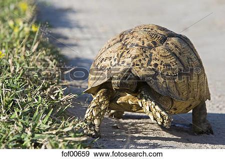 Stock Photograph of Africa, Kalahari Desert, Leopard tortoise.
