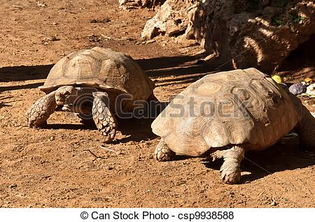 Pictures of ABYSSINIAN TORTOISE Geochelone (Testudo) sulcata.