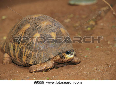 Stock Photograph of Indian Star Tortoise in the sand / Geochelone.