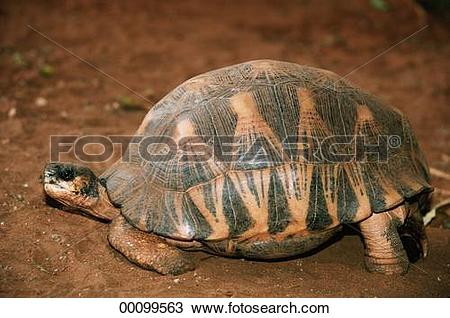 Stock Photo of Chelonia, Geochelone, Indian, Juniors, Testudines.